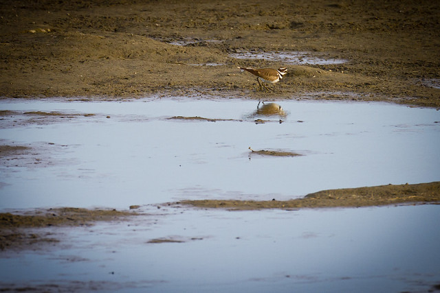 Killdeer in Bakersfield marsh