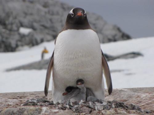 Gentoo Penguin & Babies by polarexplorer
