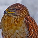 L'oiseau / The bird (Buse Rouilleuse / Ferruginous hawk)
