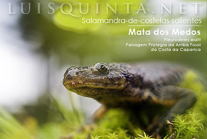 Salamandra de costelas salientes :: Costa da Caparica