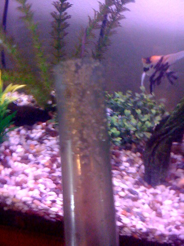 Angelfish laying eggs not fertilized for How long to air fry fish
