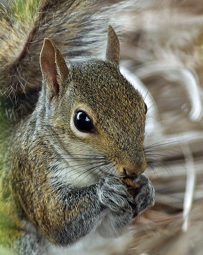 Squirrel Closeup by masaiwarrior