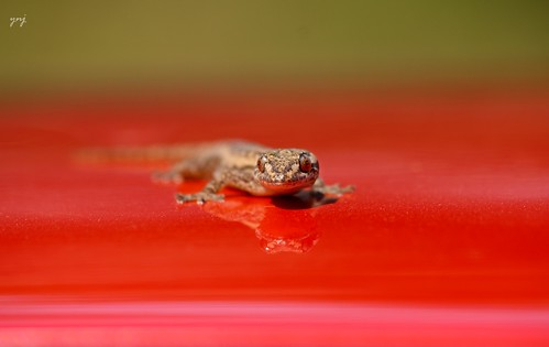Lizard on the Car roof by Yogendra174