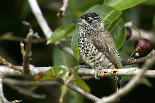 Female White-barred Piculet (Pica-pau-anão-barrado fêmea) by Fabio Rage