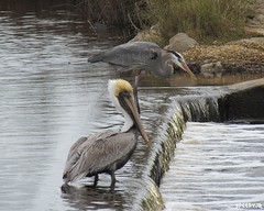 Great Blue Heron and Brown Pelican - Alabama by SpeedyJR