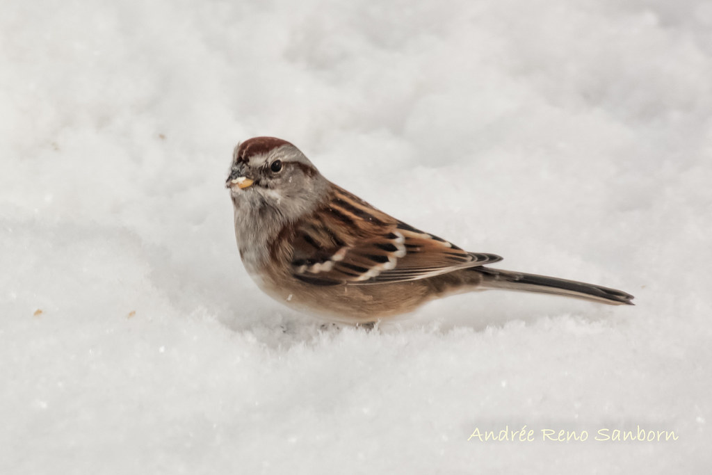 American Tree Sparrow (Spizella arborea)-2.jpg