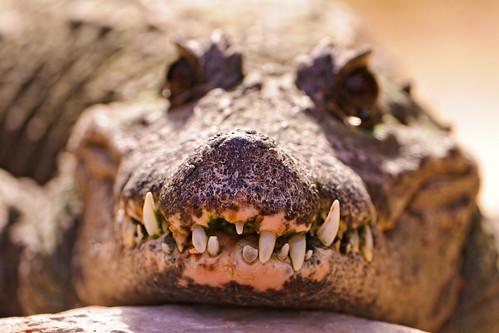 [フリー画像素材] 動物 2, 爬虫類, 鰐・ワニ ID:201202091000