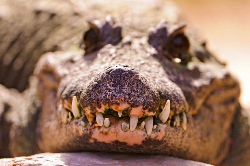 ギザギザ歯のワニ