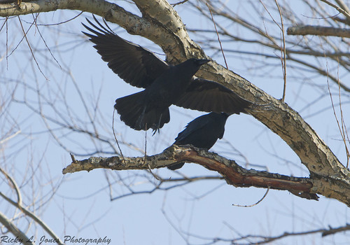 Lunchtime Crows by Ricky L. Jones Photography