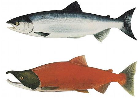 pin adult ocean salmon - photo #43