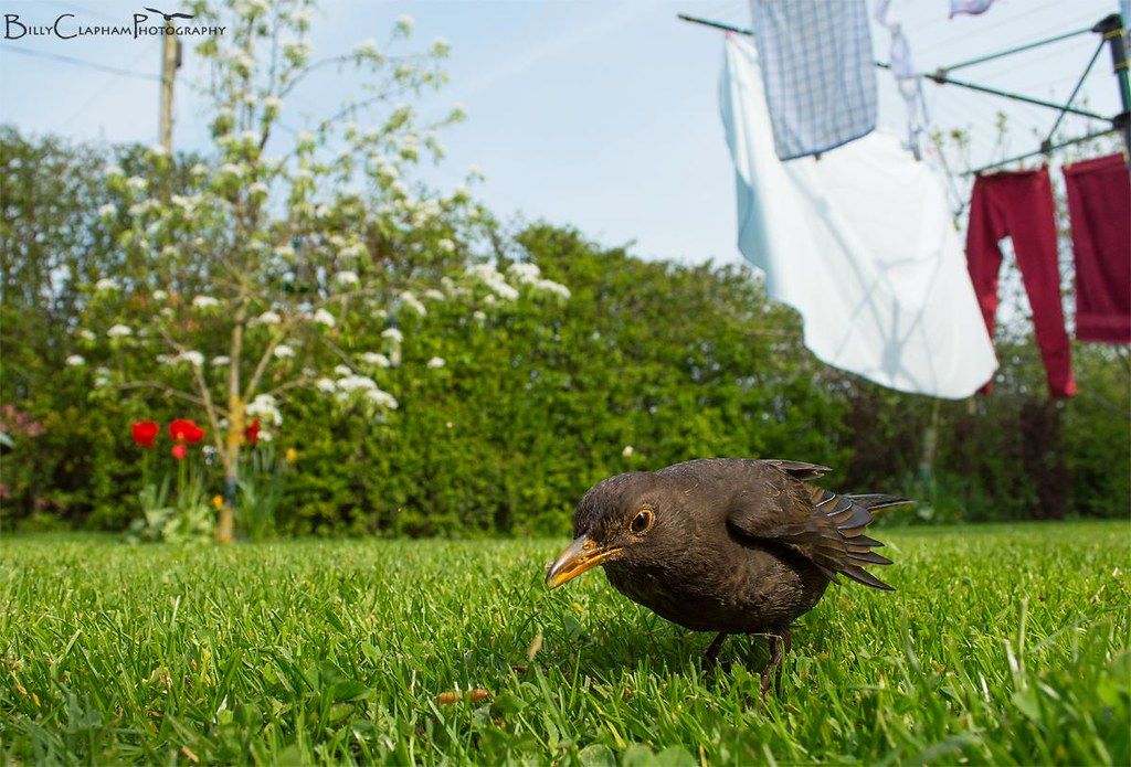 wide angle mum female blackbird garden habitat
