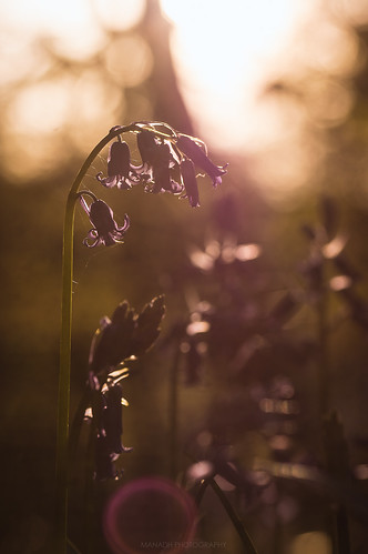 Backlit Bluebell