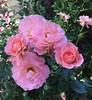 Apricot drift roses