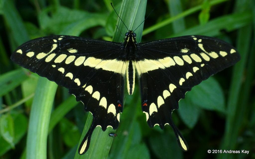 King or Thoas Swallowtail, Heraclides thoas