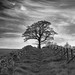 yetholm tree by Dorothy Cook 15