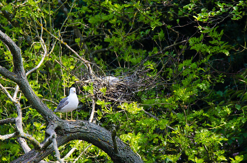 Heron on the nest, gull standing by