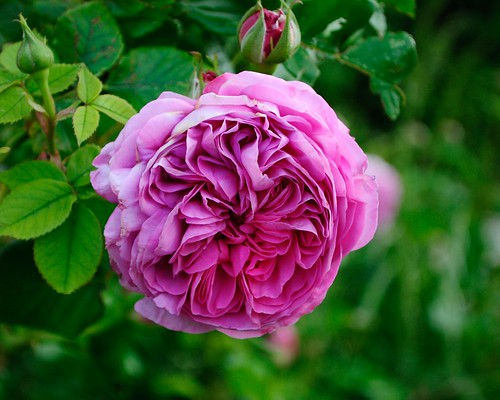 Rose (Rosa sp., rosacée)