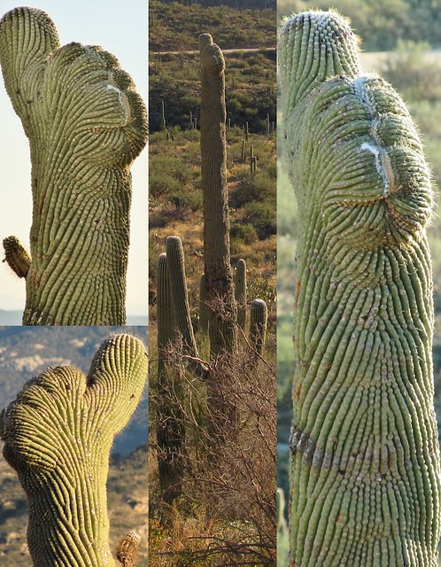 Crested cactus collage rare crested saguaro another one i
