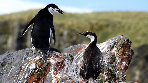 29 November - South Georgia - Cooper bay - Chinstrap penguin and Imperial shag - Manchot jugulaire et Cormoran Impérial. by Jo Sze
