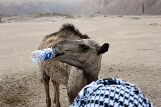 Camel Drinking Water in the Desert