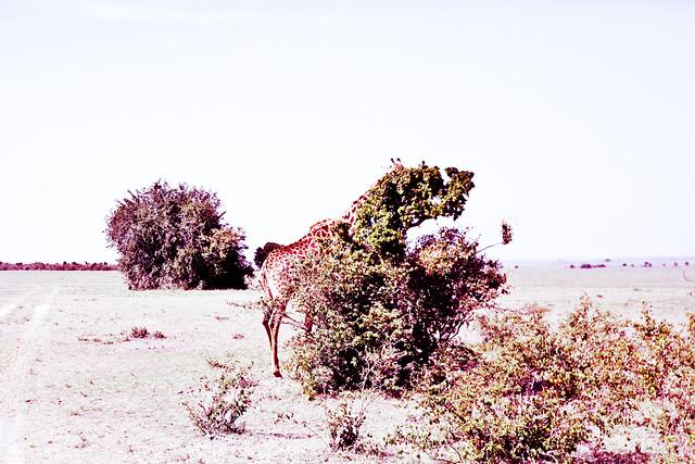 Giraffes (6)