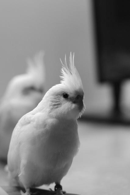 家裡的新成員-鸚鵡