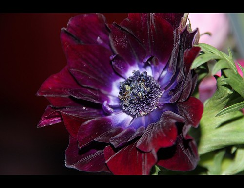 a very dramatic anemone by berber hoving