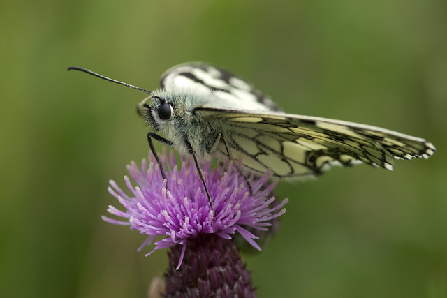marbled white butterfly 11