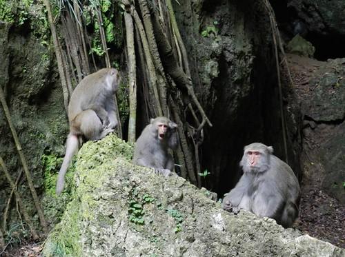 台灣獼猴是壽山最受矚目的精靈,卻因遊客不當餵食,而發展出擾人的行為。(圖片來源:營建署)