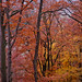 Oaks and beech trees in fall colors, Lindenberg