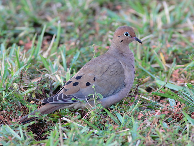 Mourning Dove 20111211