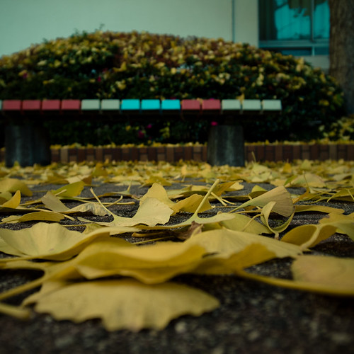Dusting of Gingko Leaves with Bench-0010221