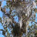 Bromeliads and Aerophytes - Bromelias y plantas aerófitas; camino entre San Sebastián Yutanino y San Francisco Cahuacuá (Región Mixteca), Oaxaca, Mexico por Lon&Queta