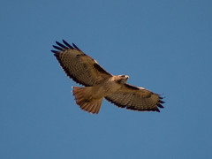 animal(1.0), hawk(1.0), bird of prey(1.0), falcon(1.0), eagle(1.0), wing(1.0), vulture(1.0), fauna(1.0), buzzard(1.0), bald eagle(1.0), accipitriformes(1.0), kite(1.0), beak(1.0), bird(1.0), flight(1.0),