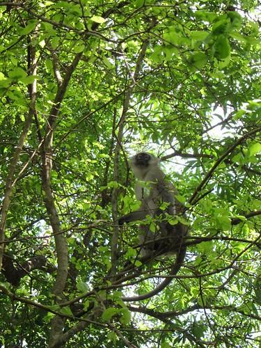monkey malawi