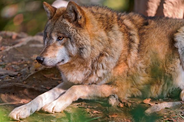 Wolf lying on back - photo#22