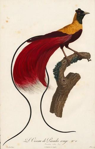 002-Ave del paraiso roja-Histoire naturelle des Oiseaux de paradis et des Rolliers.. 1806-François Levaillant