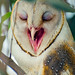 Barn Owl Alert..!!! by Rakesh JV