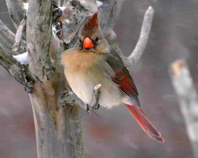 Female Cardinal In Winter II Photograph by Debbie Portwood  Female Cardinal In Winter