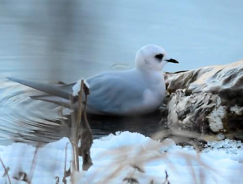 washington gull rarity palmerlake okanogan rosss rosea rosssgull rhodostethiarosea rhodostethia ebird cosmicmindblower