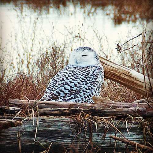 Snowy Owl.     #snowyowl by Pete's Photo Blog