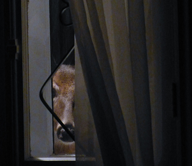 It's 4:30 in the morning and there's a deer at my window