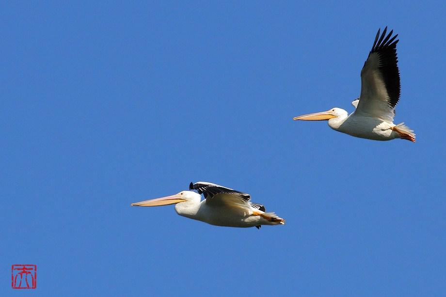 American White Pelican 010112