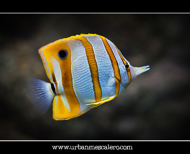 Copperband Butterflyfish - Chelmon rostratus