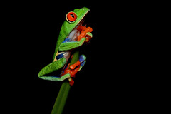 [Free Images] Animals 2, Amphibian, Frogs, Red Eyed Tree Frog ID:201201071000