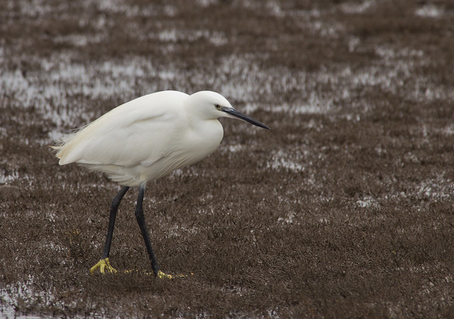 little egret 8
