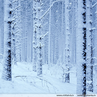 Winter forest. Latvia