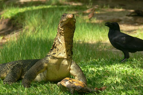 Scene from Lumphini Park: dragon lizard, turtle and raven | by MyBukit