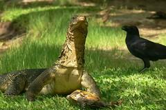 Scene from Lumphini Park: dragon lizard, turtle and raven