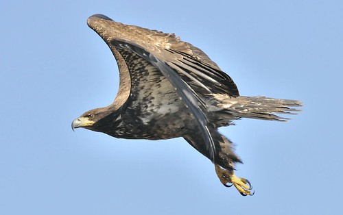An immature bald eagle flies over the Skagit Wildlife Area near Conway, Wash.